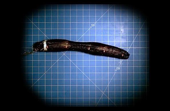 Meshworm: un robot capaz de moverse como una lombriz