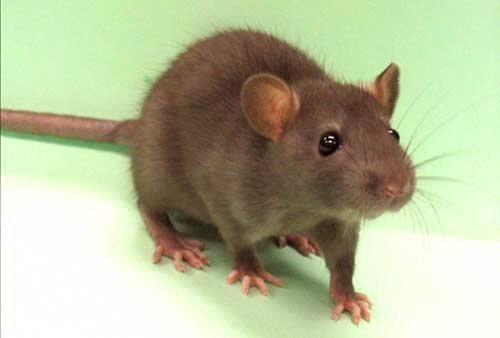Consiguen rejuvenecer músculos de ratas
