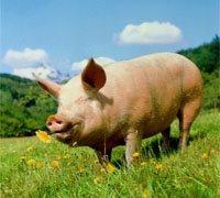 La vesícula de cerdo ¡regenera los dedos!