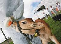 Patagonia I, la vaca Argentina que produce insulina