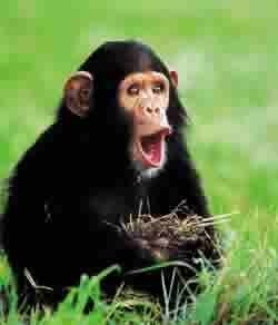 El chimpancé evolucionó más que el hombre