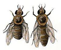 Se descubrió la razón por la que desaparecen las abejas