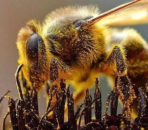 ¿Las abejas anuncian el Apocalipsis?