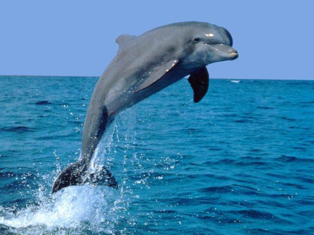 Científicos logran decodificar el idioma de los delfines
