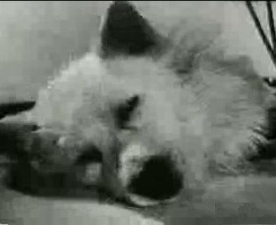 El experimento ruso del perro sin cabeza