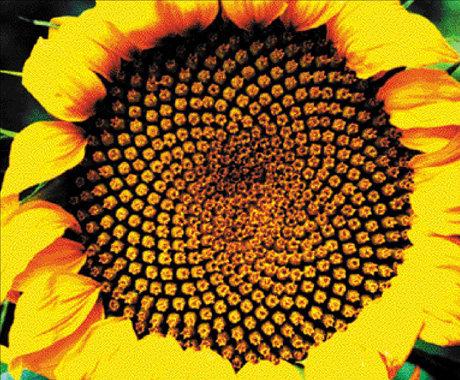 Flor del girasol, 55 espirales en un sentido y 89 en el otro, o bien 89 y 144 respectivamente.
