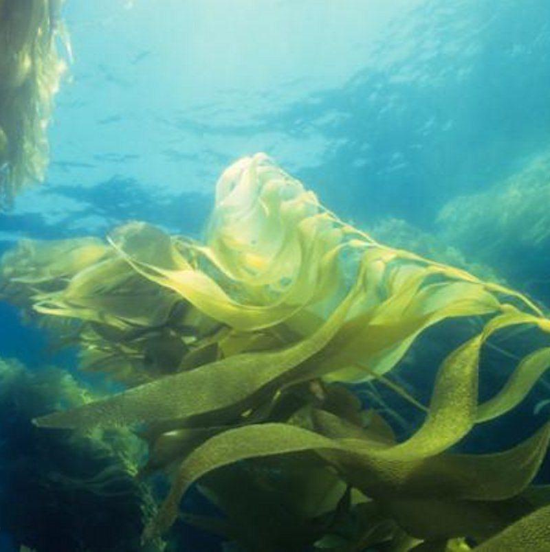Algas marinas contra la obesidad