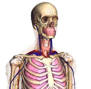 The Body Browser: Google dentro del cuerpo humano