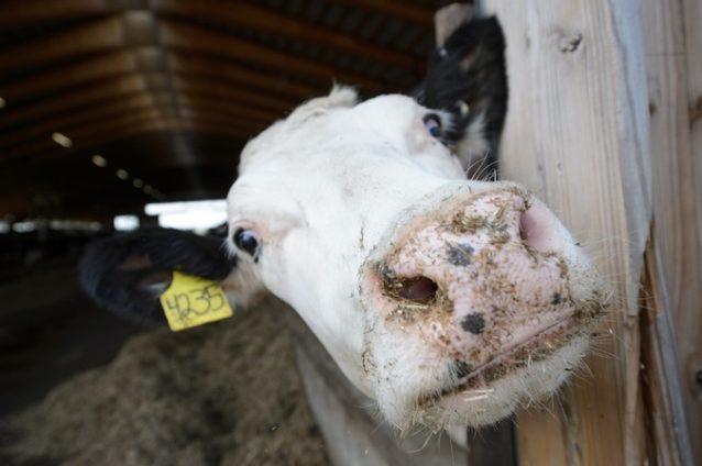 Crean un método para convertir estiércol de vaca en agua limpia