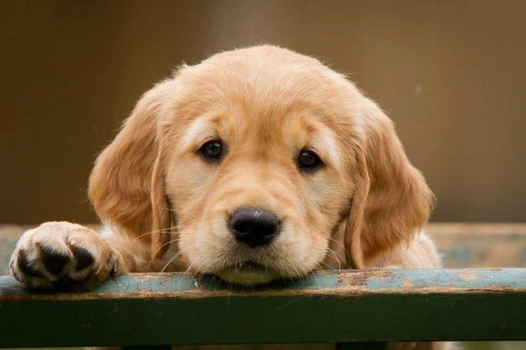 ¿Por Qué Los Perros Ponen «ojos Tristes» Cuando Te