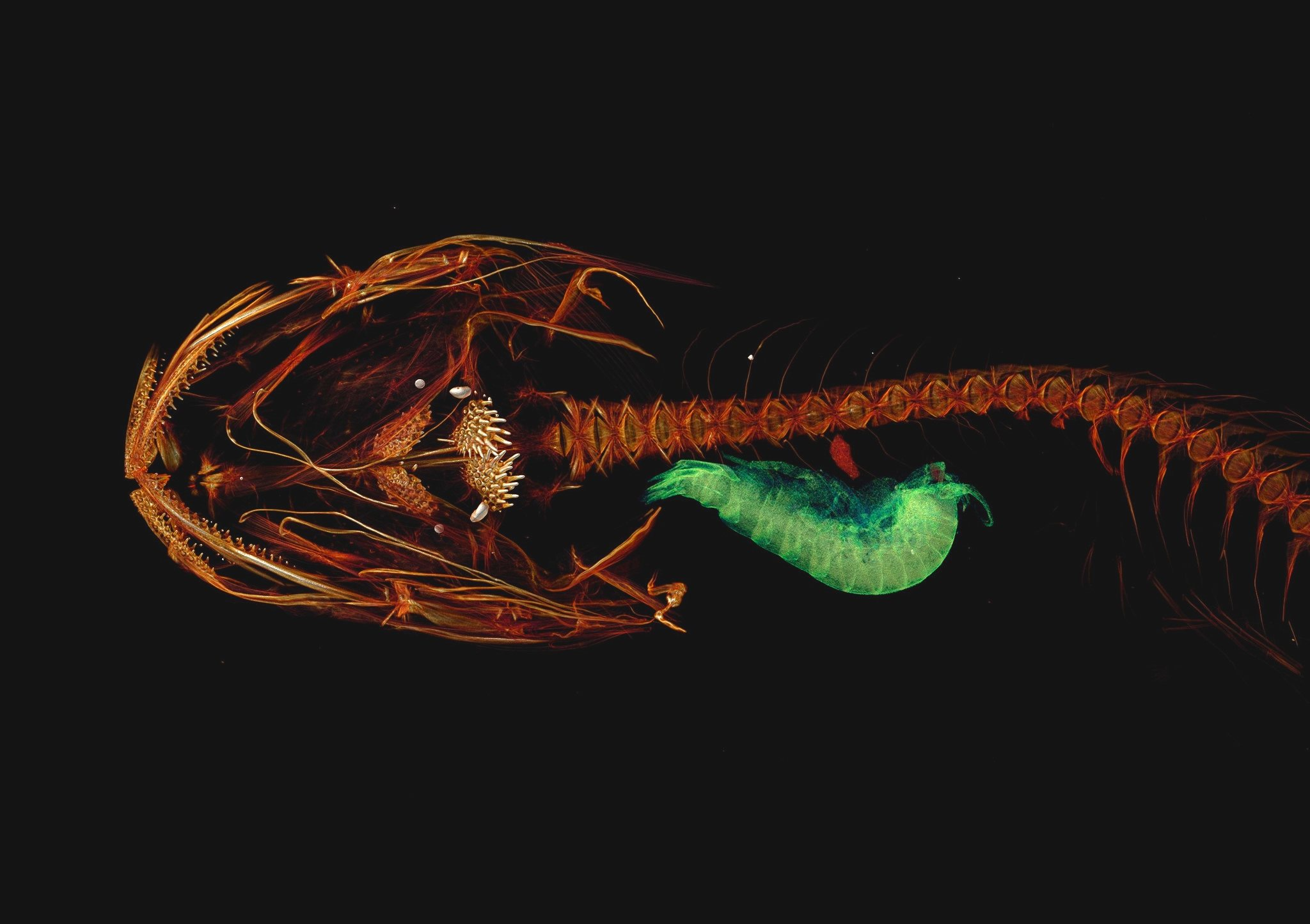 Pseudoliparis Swirei (Universidad de Washington)