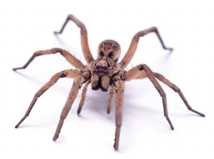 Las arañas se podrían comer a todos los humanos