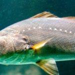 El pez más estrepitoso
