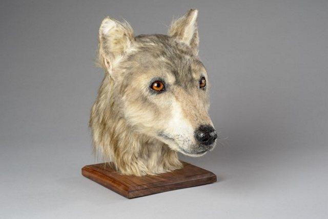 «El tamaño de un Collie grande con razgos de lobo gris»,  según los expertos