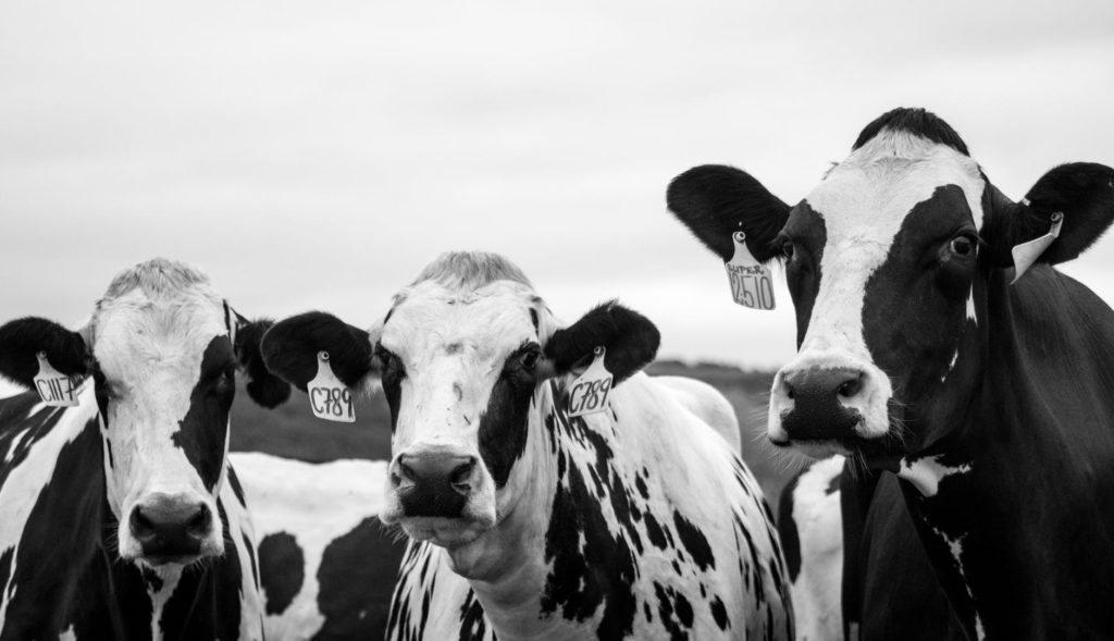 Las vacas emiten metano. ¿Cambiamos su alimentación? ¿Renunciamos a la ganadería?