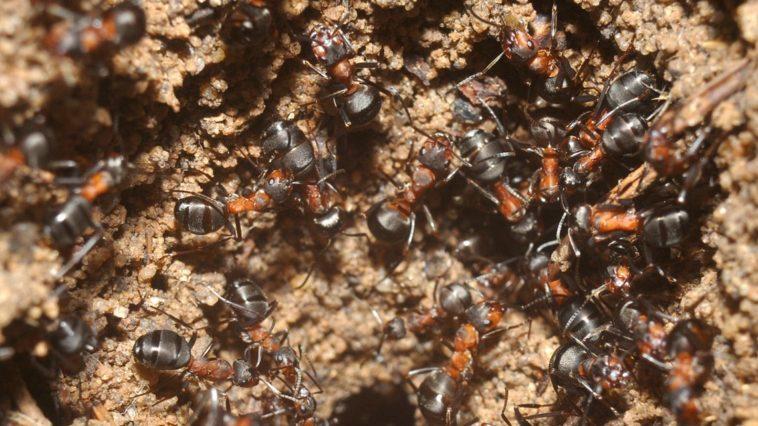 Hormigas caníbales