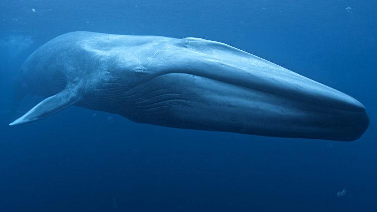 Animal más grande del mundo