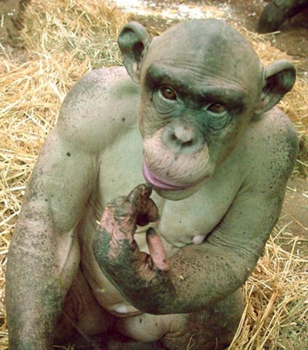chimpancé sin pelo